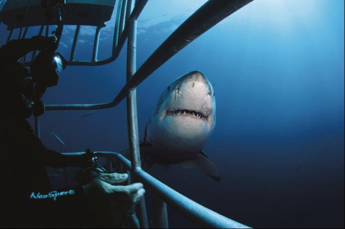 Bơi cùng cá mập trắng sẽ là những giây phút không bao giờ quên