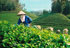 Dây chuyền sản xuất trà xanh:  Từ trà Thái Nguyên đến trà xanh Không Độ