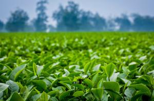 Uống trà xanh chữa bệnh và ngăn ngừa ung thư
