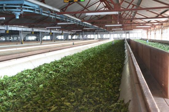 Công nghệ sản xuất trà xanh