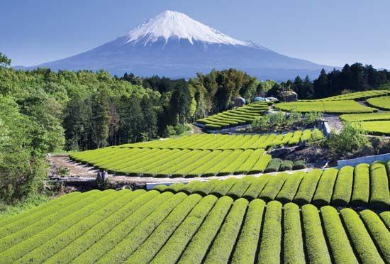 Kỹ thuật sản xuất trà xanh