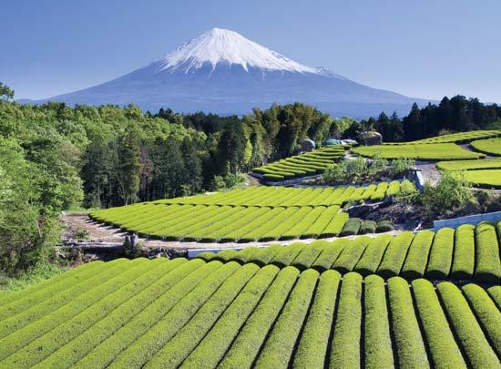 Kỹ thuật sản xuất trà xanh tại Nhật Bản